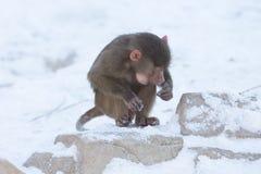 Makakenaffe, der Lebensmittel sucht Lizenzfreies Stockbild