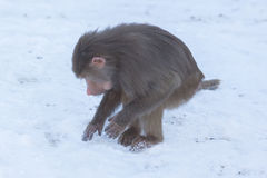 Makakenaffe, der Lebensmittel sucht Stockfotografie