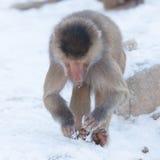 Makakenaffe, der Lebensmittel sucht Lizenzfreies Stockfoto