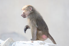 Makakenaffe, der Lebensmittel sucht Lizenzfreie Stockfotos