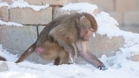 Makakenaffe, der Lebensmittel sucht Lizenzfreie Stockfotografie