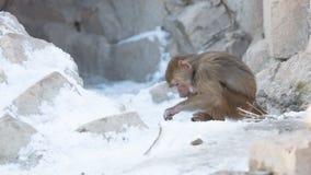 Makakenaffe, der Lebensmittel sucht Lizenzfreie Stockbilder