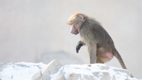 Makakenaffe, der Lebensmittel sucht Stockfotos
