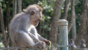 Makakenaffe, der mit Füßen spielt Stockfotografie