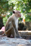 Makakenaffe in einem alten Standort Sri Lankan Stockfotos
