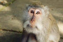Makakenaffe-Gesichtsporträt Lizenzfreies Stockbild