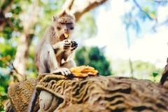 Makakenaffe, langschwänziger Affe, der Bananen isst Porträt von Primas das Mittagessen genießend Lizenzfreie Stockfotos