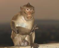 Makakenaffe Nahaufnahme Lizenzfreies Stockbild