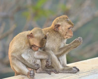 Makakenaffe Nahaufnahme Lizenzfreies Stockfoto
