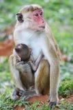 Makakenaffe und -junge in Sri Lanka Lizenzfreie Stockbilder