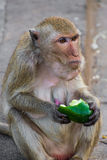 Makakenaffeaffe, der grüne Gurke auf Straße in Thailand isst Stockbild
