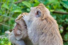 Makakenaffen am Affe-Wald, Bali Lizenzfreie Stockfotos