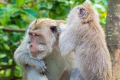 Makakenaffen am Affe-Wald, Bali Stockfotos