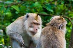 Makakenaffen am Affe-Wald, Bali Stockfoto