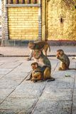 Makakenaffen bei Swayambhunath Stupa der Affe-Tempel, Kath Stockbild