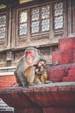 Makakenaffen bei Swayambhunath Stupa der Affe-Tempel, Kath Stockfotos
