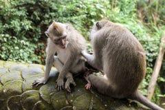 Makakenaffen, die in Ubud, Bali sich pflegen stockfoto