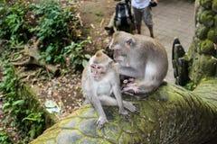 Makakenaffen, die vor Touristen sich pflegen stockfoto