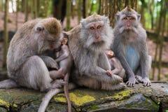 Makakenaffen mit Jungen Stockfoto