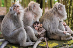 Makakenaffen mit Jungen Stockfotos
