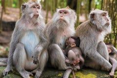 Makakenaffen mit Jungen Lizenzfreies Stockbild