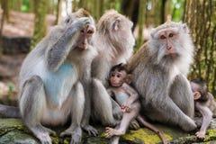 Makakenaffen mit Jungen Stockfotografie