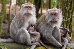 Makakenaffen mit Jungen Stockbilder