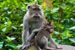 Makakenaffen mit Jungen Lizenzfreie Stockfotos