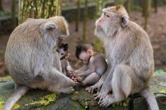 Makakenaffen mit Jungen am Affe-Wald, Bali Lizenzfreie Stockfotografie