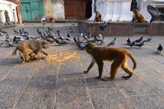 Makakenaffen und -tauben, die Mais essen Lizenzfreies Stockfoto