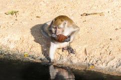 Makakenaffespiele auf der Natur Stockfotos