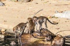 Makakenaffespiele auf der Natur Lizenzfreie Stockfotografie