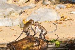 Makakenaffespiele auf der Natur Stockfoto