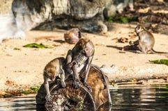Makakenaffespiele auf der Natur Stockbild