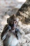 Makakenaffespiele auf der Natur Lizenzfreies Stockfoto
