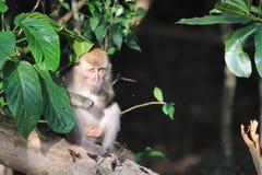 Makakenaffeverlassen einen Regenwald stockfotografie