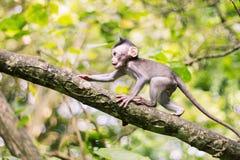 Makakenbaby in der Bewegung Stockfoto
