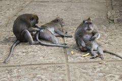 Makakenfamilie, die sich pflegt Stockbilder