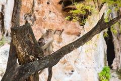 Makakenmutter mit Kind auf Baum Affe zwei Stockfoto