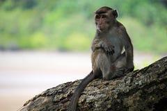 Makakenporträt auf einem Baum Stockfotos