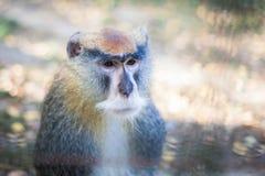 Makakenporträt im Zoo Stockbild