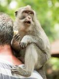 Makakenporträtaffe sitzt hinter den Halstouristen und Essenbanane (Macaca fascicularis) im heiligen Affen FO Lizenzfreies Stockfoto