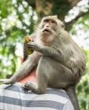 Makakenporträtaffe sitzt hinter den Halstouristen und Essenbanane (Macaca fascicularis) im heiligen Affen FO Stockbild