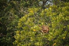 Makakenrhesusfaktor mit Baby auf einem Baum auf Inder Sundarbans Lizenzfreie Stockbilder