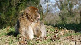 makaki zbiory wideo