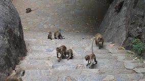Makaki blisko Dambulla jamy świątyni zbiory