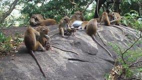 Makaki blisko Dambulla jamy świątyni zdjęcie wideo