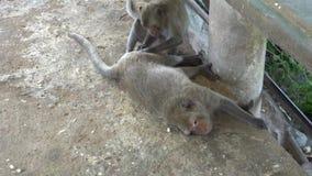Makaki odsiewa each i szuka wszy - inny futerkowy zdjęcie wideo
