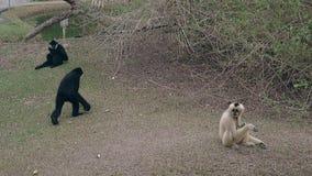Makaki siedzą na zmielonym spojrzeniu przy zrzuconym turystami karmowymi zbiory