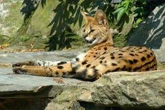 makanu serval Στοκ Εικόνες